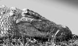 Mara River Croc 45 x 30 cm