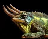 Chameleon  61 x 61 cm