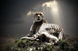 Cheetah & young 91 x 61 cm