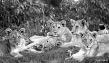 Lion Cubs1 85 x 45 cm