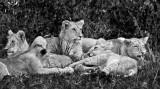 Lion Cubs2 61 x 35 cm