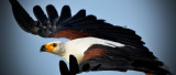 Fish Eagle 61 x 26 cm