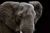 Mara Elephant 61 x 41 cm