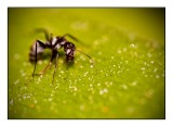 Lil' Ant 45 x 33 cm