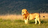 Lion King 45 x 30 cm
