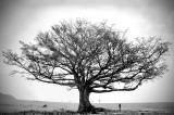 Tree of Life (Canvas) 87 x 60 cm