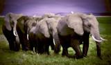 Amboseli Swamp Ellies 61 x 36 cm