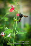 Tree Bees in the Salvia