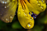 Flowers in the Rain / With Water Drops