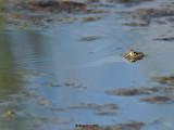 Four Eyed Frog