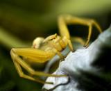 Araignee crabe