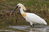 Birds of Texel /Netherlands