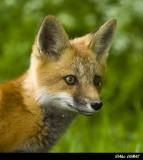 Renards - Foxes