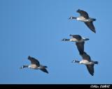 Bernaches du Canada - Canada Geese