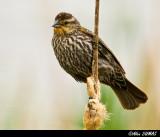 Carouge Femelle - Female Red-winged Blackbird