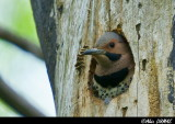 Pic Flamboyant Mâle au Nid - Northern Flicker in Nest