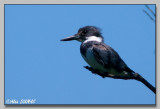 Martin Pêcheur - Belted Kingfisher