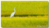 Grande Aigrette - Great Egret.