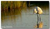 Aigrette Neigeuse - Snowy Egret