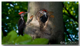 Grand Pic Mâle avec Juvénile - Male Pileated Woodpecker with Juvenile