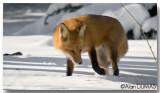 Renard Roux - Red Fox
