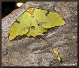 Papillon Lune - Luna Moth