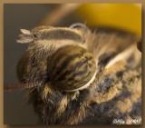 Papillon Chouette - Owl Butterfly