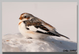 Plectrophane des neiges - Snow Bunting