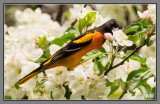 Oriole du Nord - Nothern Oriole