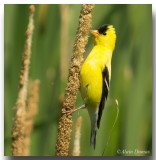 Chardonnerets - American Goldfinch