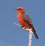 Louisiana Birds