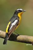 Ficedula zanthopygia - Yellow-rumped Flycatcher