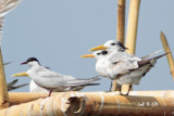 Sterna bengalensis - Lesser Crested Tern