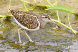 Rostratulidae (Painted Snipes)