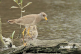 Vanellus cinereus - Grey-headed Lapwing