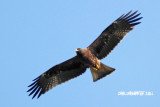 Aquila pennata - Booted Eagle