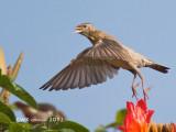 Sturnus roseus - Rosy Starling