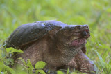 Snapping Turtle Eating Mullberries