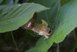 17-year Cicada Emerging from Shell
