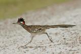 Cuckoos, Roadrunner, Anis