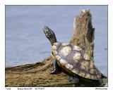 IMG_3016_Turtle_10x100.jpg