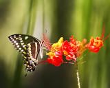 _MG_7864_Swallowtail.jpg