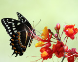 _MG_7934_Swallowtail.jpg