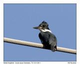 _MG_1800_BeltedKingfisher.jpg