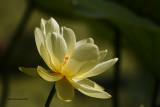_MG_1303_Lotus.jpg