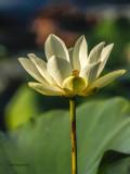 _MG_3570_Lotus_100x12.jpg