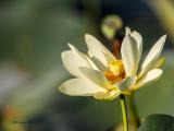 _MG_3574_Lotus_100x12.jpg