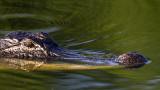 _MG_4262_Alligator.jpg