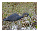 Little-blue Heron