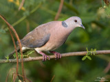 Island Collared-Dove   Scientific name - Streptopelia bitorquata dusumieri, endemic race  Habitat - In lowlands, in open areas and mangroves.   [40D + 500 f4 L IS + Canon 1.4x TC, bean bag]